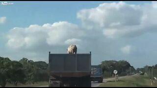 Brawurowa ucieczka świni z ciężarówki