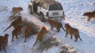 Karmienie dwudziestu tygrysów bażantami!