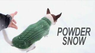 Dlaczego Chihuahua nie biega po śniegu?