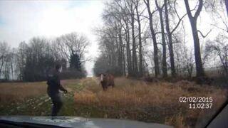 Próba aresztowania krowy