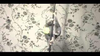 Lemur w pieluszeczce tańczy na rurze