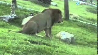Cyrkowy lew po raz pierwszy na wolności